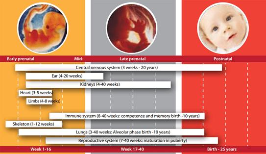 ontwikkeling van de foetus